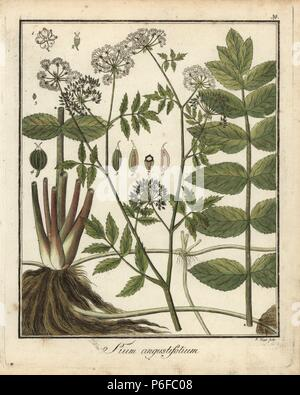 Cutleaf water parsnip, Berula erecta. Handcoloured copperplate engraving by P. Haas from Dr. Friedrich Gottlob Hayne's Medical Botany, Berlin, 1822. Hayne (1763-1832) was a German botanist, apothecary and professor of pharmaceutical botany at Berlin University. - Stock Photo