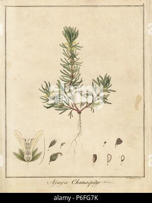 Yellow bugle or ground pine, Ajuga chamaepitys. Handcoloured copperplate engraving by F. Guimpel from Dr. Friedrich Gottlob Hayne's Medical Botany, Berlin, 1822. Hayne (1763-1832) was a German botanist, apothecary and professor of pharmaceutical botany at Berlin University. - Stock Photo