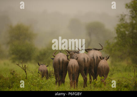 Wildebeest Gnu herd under the lush green Kruger on a rainy day - Stock Photo