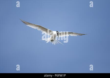 A Hunting Sandwich Tern - Stock Photo