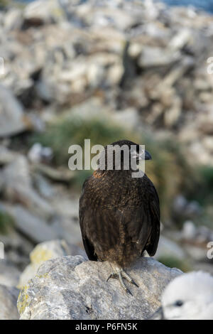 Striated caracara or Johnny Rook at West Point Island, Falkland Islands - Stock Photo