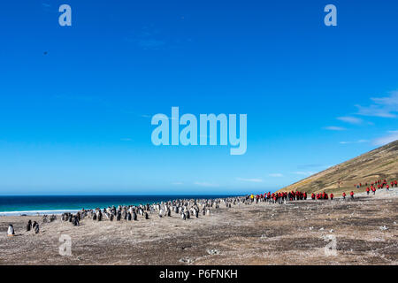 Expedition ship passengers at King penguin colony at The Neck, Saunders Island, Falkland Islands - Stock Photo