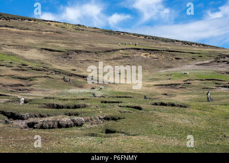 Magellanic penguins in field where sheep are grazing, Saunders Island, Falkland Islands - Stock Photo