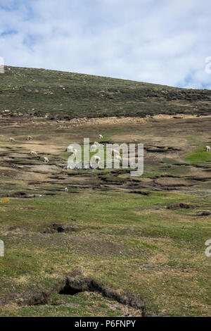 Magellanic penguins burrows in field grazed by sheep, Saunders Island, Falkland Islands - Stock Photo