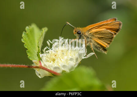 Essex Skipper - Thymelicus lineola, beautiful small orange butterfly from European meadows, Eastern Rodope mountains, Bulgaria. - Stock Photo