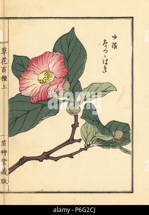 Natsu tsubaki or Japanese stewartia, Stewartia pseudocamellia. Handcoloured woodblock print by Kono Bairei from Kusa Bana Hyakushu (One Hundred Varieties of Flowers), Tokyo, Yamada, 1901. - Stock Photo