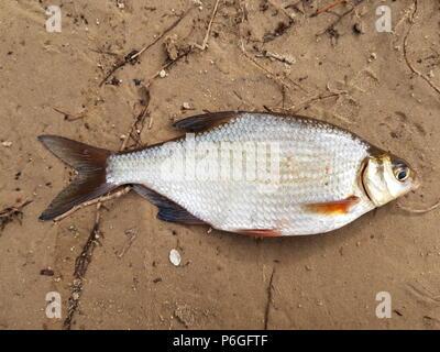 Fishing catch. River fish Blicca bjoerkna.Top view - Stock Photo