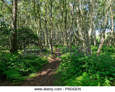A narrow path leads through tall Silver Birch trees with ferns and brambles eiatherside the path. - Stock Photo