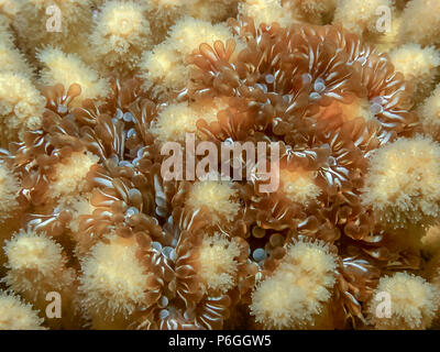 Lebrunia danae is a species of sea anemone in the family Aliciidae - Stock Photo