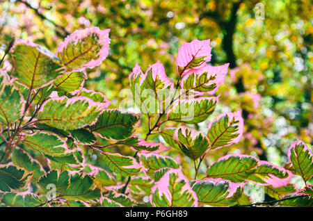 Colorful leaves of a tricolor european beech tree, Fagus sylvatica. - Stock Photo