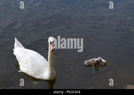 swan cob with one little cygnet, mute swan family on a lake in bavaria in june - Stock Photo
