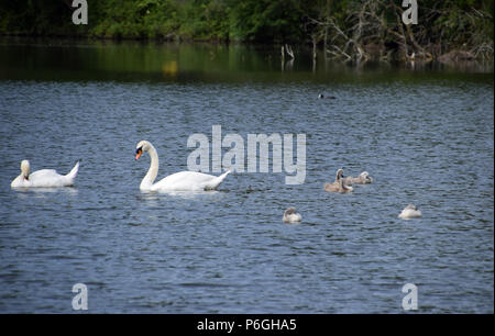view over a lake with mute swans and cygnets, mute swan family on a lake in bavaria in june - Stock Photo