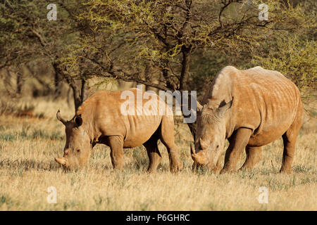 White rhinoceros (Ceratotherium simum) with calf in natural habitat, South Africa - Stock Photo
