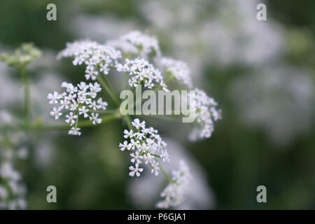 White cow parsley anthriscus sylvestris flowers on a green background - Stock Photo