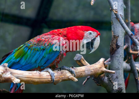 Portrait of colorful Scarlet Macaw parrot against wooden branches background. - Stock Photo