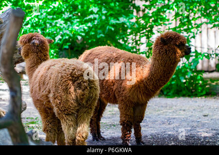 Portrait of two brown alpacas looking in the camera in a green field on a sunny summer day. - Stock Photo