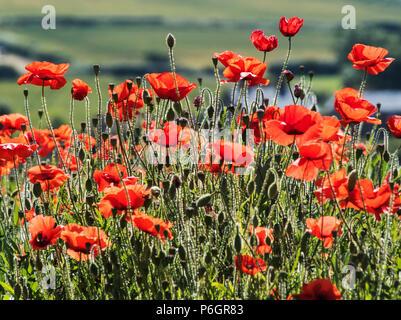 Poppy field. poppies growing amongst the broadbeans. - Stock Photo