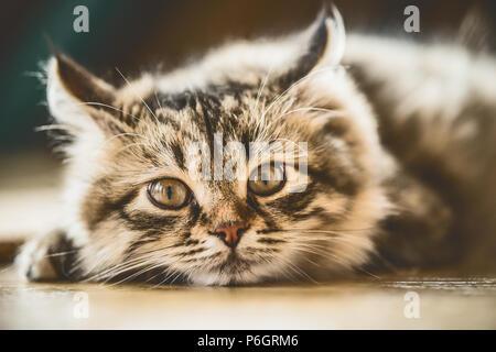 Portrait of a fluffy Siberian kitten - Stock Photo