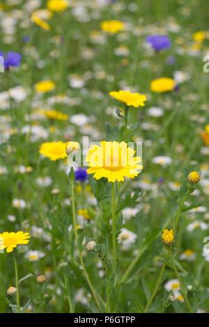 Chrysanthemum segetum in a wildflower meadow. Corn marigold flowers.