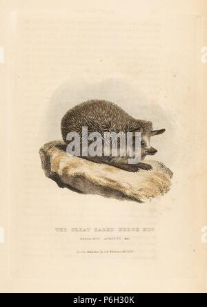 Long-eared hedgehog, Hemiechinus auritus (Great eared hedge-hog, Erinaceus auritus). Handcoloured copperplate engraving from Edward Griffith's The Animal Kingdom by the Baron Cuvier, London, Whittaker, 1824. - Stock Photo