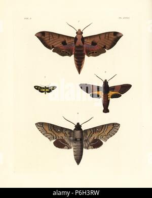 Achemon sphinx, Eumorpha achemon 1, Macroglossum passalus 2, Glaucopis? pulchra 3, and Manduca brontes 4. Handcoloured lithograph from John O. Westwood's new edition of Dru Drury's 'Illustrations of Exotic Entomology,' Bohn, London, 1837. - Stock Photo