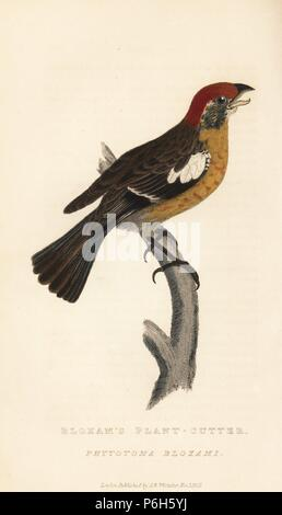Rufous-tailed plantcutter, Phytotoma rara (Bloxam's plant-cutter, Phytotoma bloxami). Handcoloured engraving from Edward Griffith's The Animal Kingdom by the Baron Cuvier, London, Whittaker, 1827. - Stock Photo