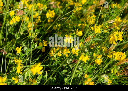 Meadow vetchling wildflowers growing in a field in sunshine in summer June Carmarthenshire Dyfed Wales UK   KATHY DEWITT - Stock Photo