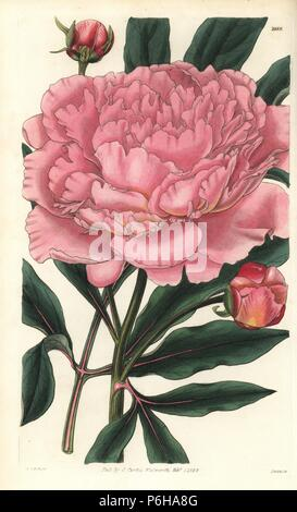 Chinese peony, Paeonia lactiflora (Double white Chinese peony with rose coloured flowers, Paeonia albiflora var. rosea). Handcoloured copperplate engraving by Swan of an illustration by William Jackson Hooker from 'Curtis's Botanical Magazine,' Samuel Curtis, London, 1829. - Stock Photo