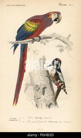 Scarlet macaw, Ara macao, and great spotted woodpecker, Dendrocopos major. Handcoloured engraving by Fournier after an illustration by Edouard Travies from Charles d'Orbigny's Dictionnaire Universel d'Histoire Naturelle (Dictionary of Natural History), Paris, 1849. - Stock Photo