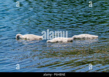 Three bundles of fluff with heads beneath the surface of the water, young mute cygnet swan ducklings searching for food - Stock Photo