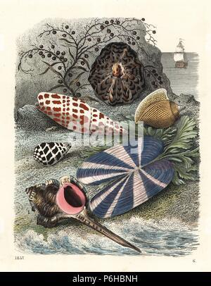 Sea snail, Haustellum haustellum 1, black and white cone, Conus ebraeus 2, Episcopal miter, Mitra mitra 3, dog conch, Laevistrombus canarium 4, limpet, Patella scutellaris 5, and rosy razor clam, Solecurtus strigilatus 6. Handcoloured lithograph from Carl Hoffmann's Book of the World, Stuttgart, 1857. - Stock Photo