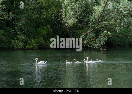 Pair Mute swans with six cygnets - Stock Photo