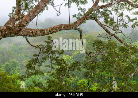 The Amazon Rainforest in the fog seen from a observation platform in a Ceiba tree with two many-banded Aracari (Pteroglossus pluricinctus), Yasuni NP. - Stock Photo