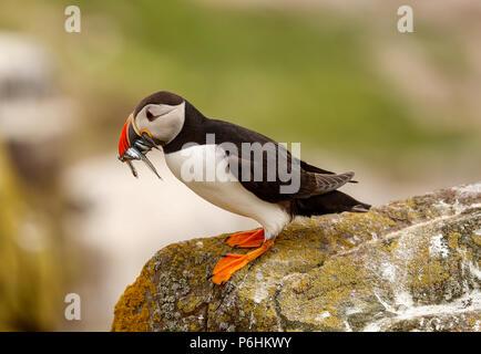 Puffin (Fratercula atlantica) - Stock Photo
