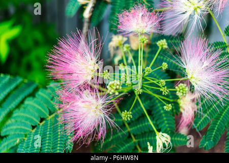 Close-up of mimosa flowers and leaves Stock Photo