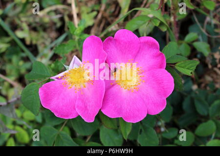 Dog rose or Rosa canina wild rose violet blooming flowers with missing petals and small insect in middle surrounded with green leaves on warm sunny da - Stock Photo