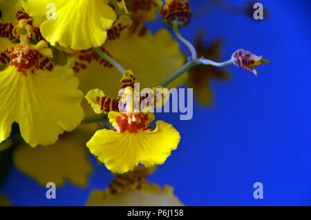 Yellow Orchid Oncidium (Dancing Ladies or Butterfly Orchid) on Blue Background Grown as Houseplant in Lancashire, England UK - Stock Photo