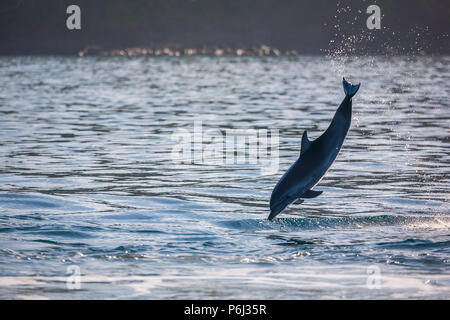 Jumping Spotted Dolphin in Isla Coiba national park, Pacific coast, Veraguas province, Republic of Panama. - Stock Photo
