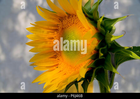 Sunflower in early morning - Stock Photo