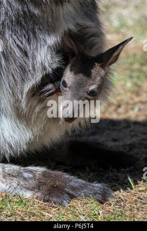 USA, Colorado, El Paso County, Colorado Springs, Cheyenne Mountain Zoo. Kangaroo with young joey in her pouch. (Captive) - Stock Photo
