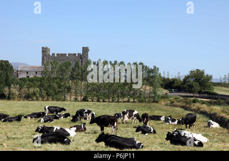Herd of milking cows in pasture, Greencastle, Co. Down, Northern Ireland - Stock Photo