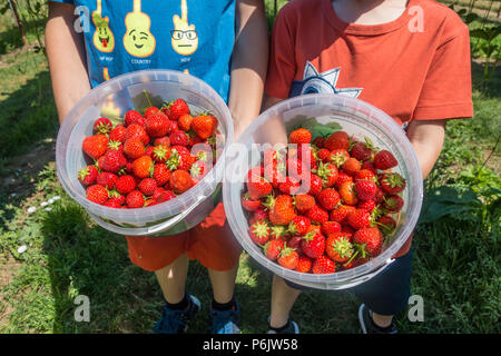 Your children hold buckets of strawberries that they have harvested at a pick your own fruit farm. - Stock Photo