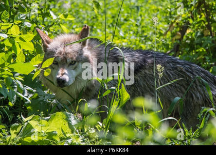 Grey wolf staring angrily - Stock Photo