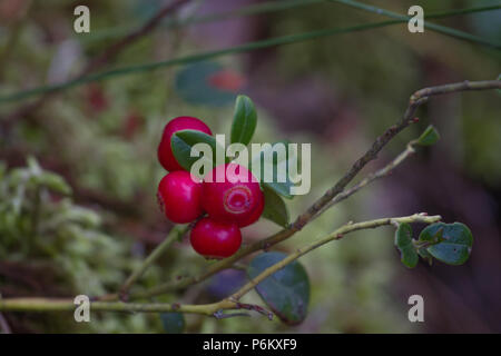 Red berries of cranberries in late summer at the Sumy region in Ukraine dwarf - Stock Photo