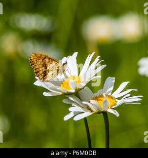 In the summer meadow the beautiful Lesser Marbled Fritillary Butterfly (Brenthis ino) suck nectar from a flowering Ox-eye Daisy (Leucanthemum vulgare) - Stock Photo