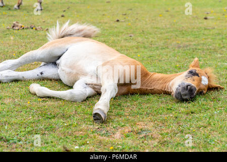 New Forest, Hampshire, UK. 1st of July. As the UK heat wave continues, even animals and wildlife are experiencing increased levels of exhaustion. Pictured here is a young New Forest foal sleeping during a sunny day in the New Forest in Hampshire. Katharina Brandt/ Alamy Live News - Stock Photo