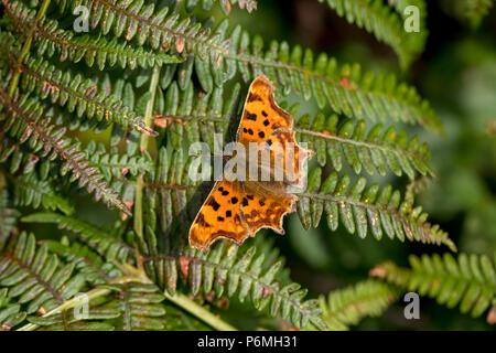 Comma Butterfly; Polygonia c-album Single on Bracken Cornwall; UK - Stock Photo