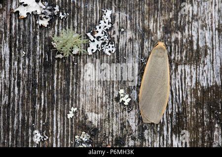 Common Footman Moth; Eilema lurideola Single on Wood Cornwall; UK - Stock Photo