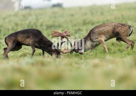Fallow Deer; Dama dama Two; Bucks Rutting;  London; UK - Stock Photo