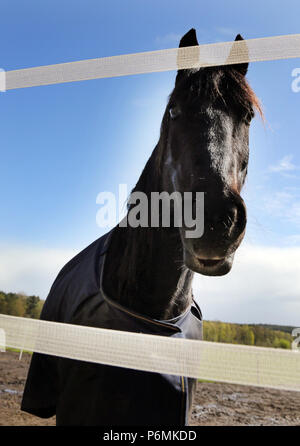 Melbeck, horse doest and let the lower lip hang - Stock Photo